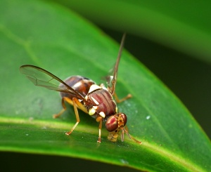 By James Niland (Flickr: Queensland Fruit Fly - Bactrocera tryoni) [CC BY 2.0], via Wikimedia Commons