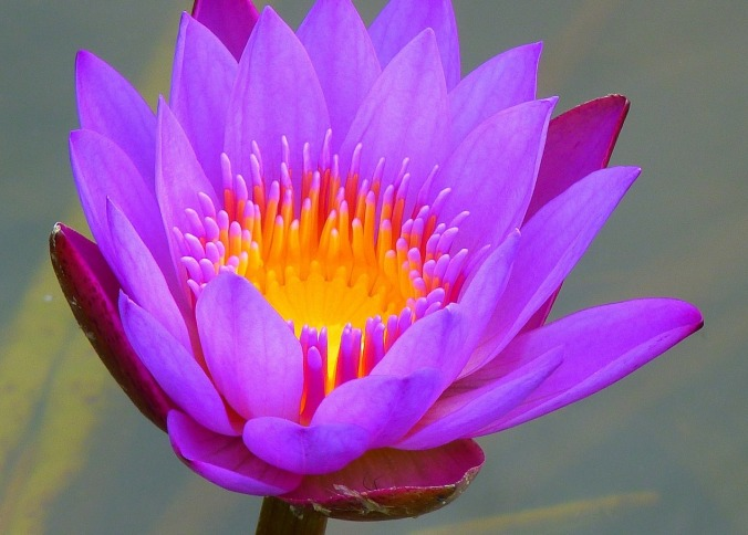 water-lily-139364_1920